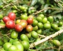 green coffee beams