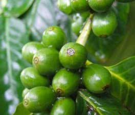 Green coffee beans what do they do